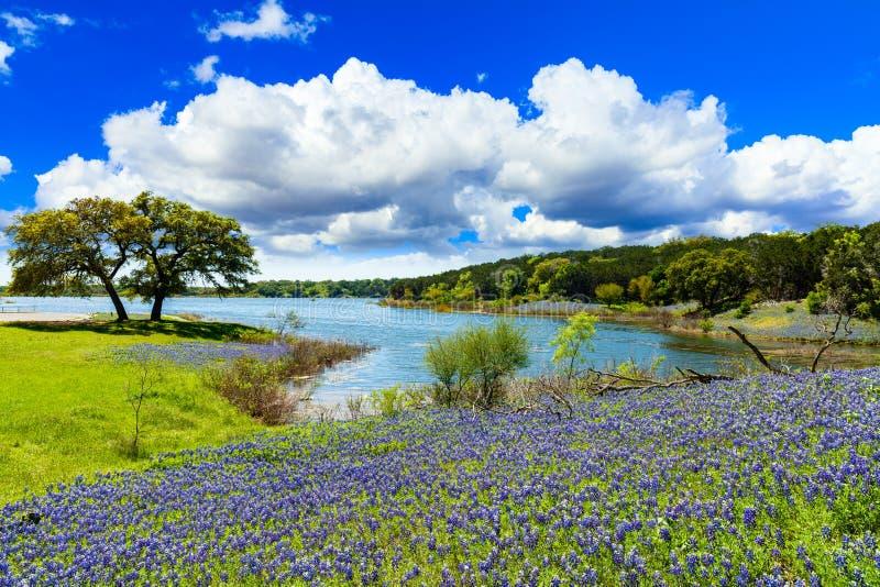 Bluebonnets Техаса стоковое фото rf