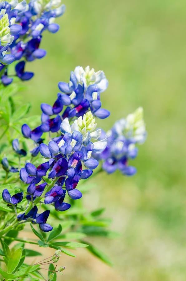 Bluebonnets Техаса стоковые фото