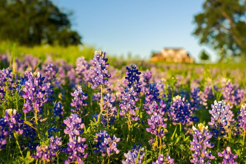 Bluebonnets Техаса стоковые изображения