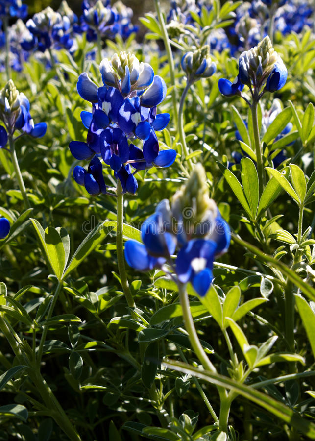 bluebonnets royaltyfria bilder