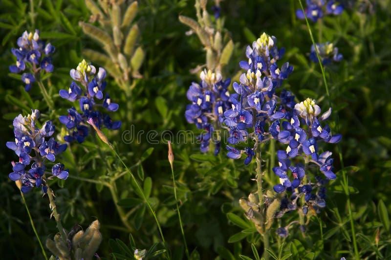 bluebonnets royaltyfri foto