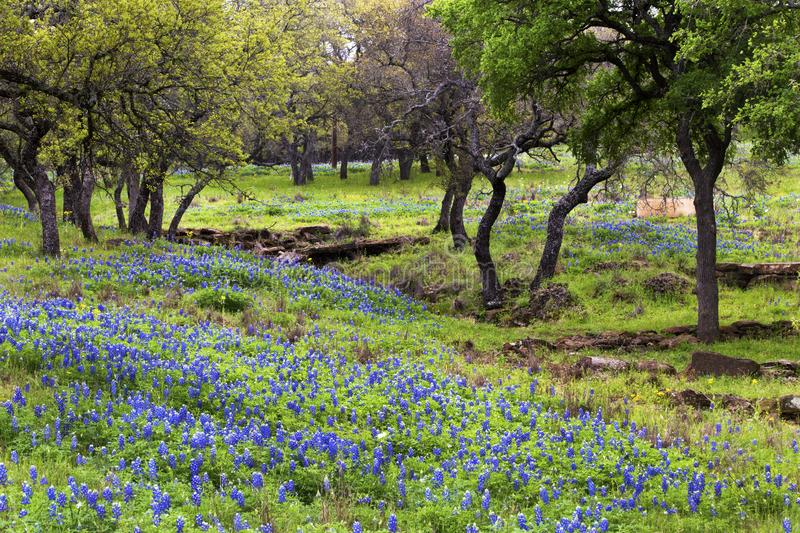 Bluebonnets auf Rocky Hills Texas Hill Countrys stockfotos