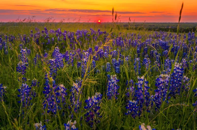 Bluebonnets bei Sonnenuntergang nahe Ennis, TX lizenzfreie stockfotografie