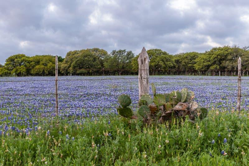 Bluebonnets dans le pays de côte du Texas photos libres de droits