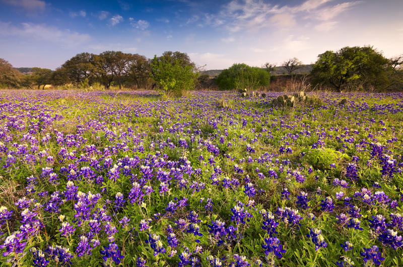 Bluebonnets dans Texas Hill Country photo stock
