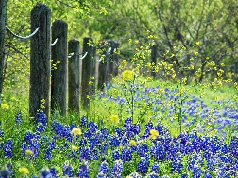 Bluebonnets de Tejas en primavera foto de archivo