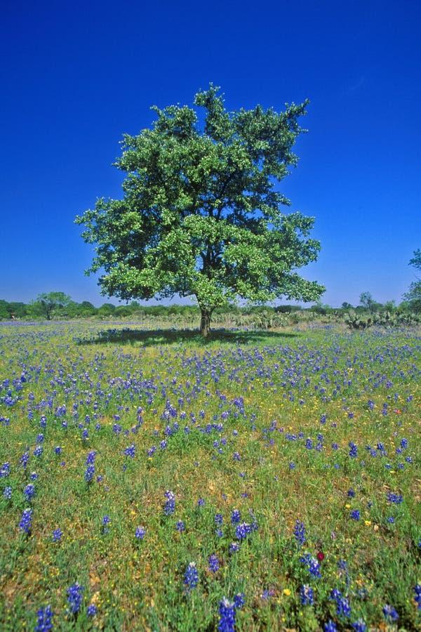 Bluebonnets in der Blüte mit Baum auf Hügel, Frühling Willow City Loop Road, TX lizenzfreies stockfoto