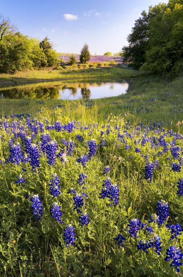 Bluebonnets devant un étang photographie stock