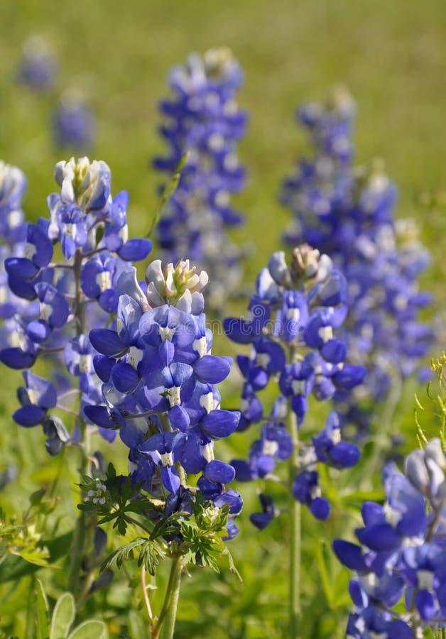 Bluebonnets di Texas (texensis del lupinus) immagini stock libere da diritti