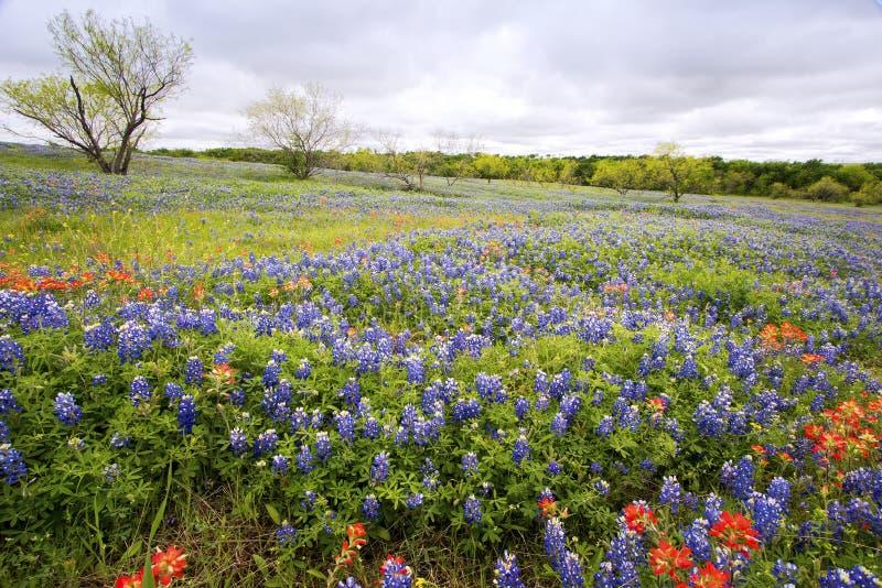 Bluebonnets dichtbij Ennis, Texas royalty-vrije stock foto