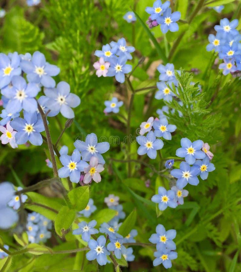Bluebonnets, die im Frühjahr blühen stockbild