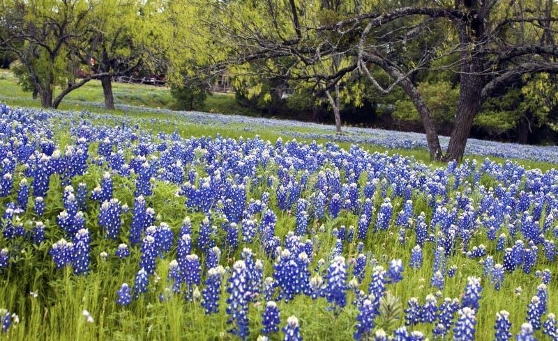 Bluebonnets en el país de la colina de Tejas foto de archivo