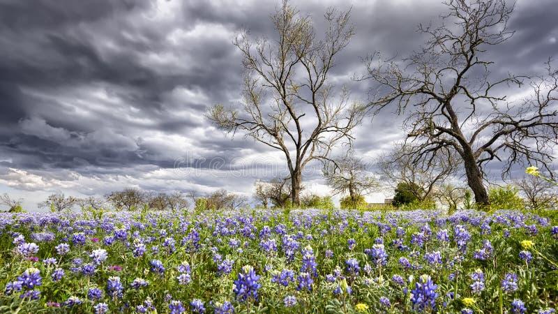 Bluebonnets en el país de la colina de Tejas imagen de archivo