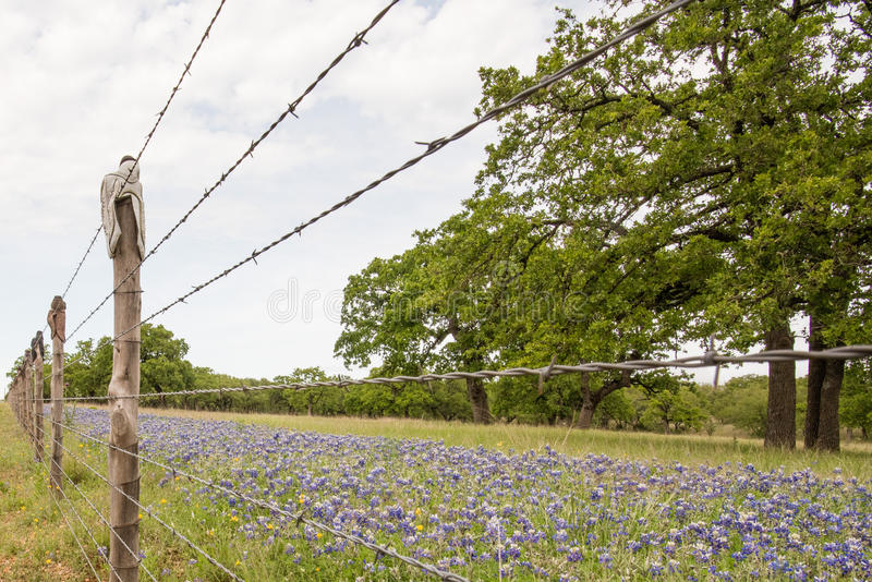 Bluebonnets in a Field royalty free stock photos