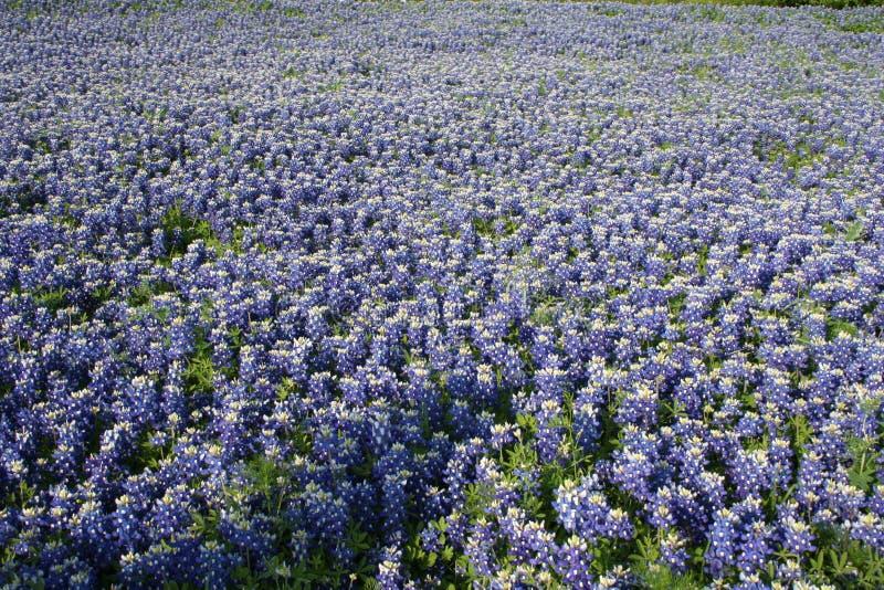 Field of bluebonnets, Waxahachie, Texas royalty free stock photo