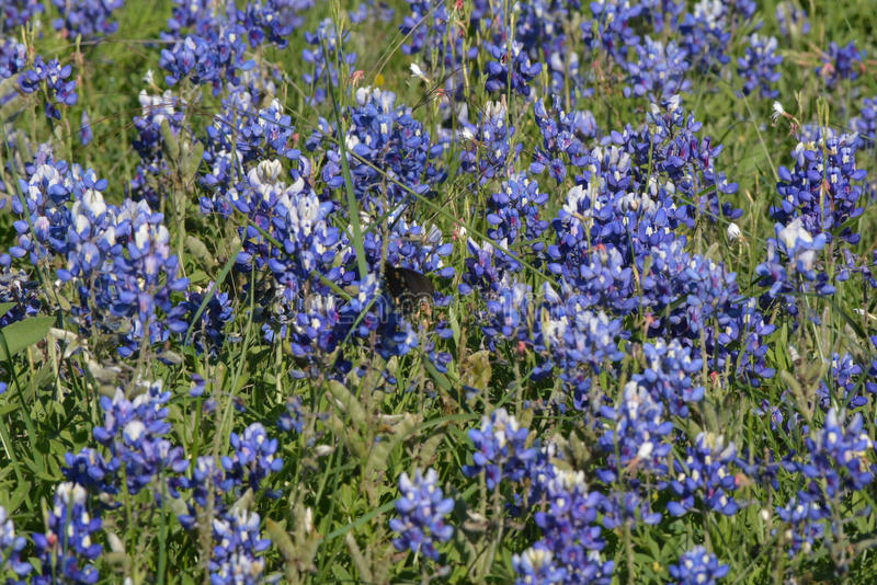 Bluebonnets growing in central Texas in April stock photos