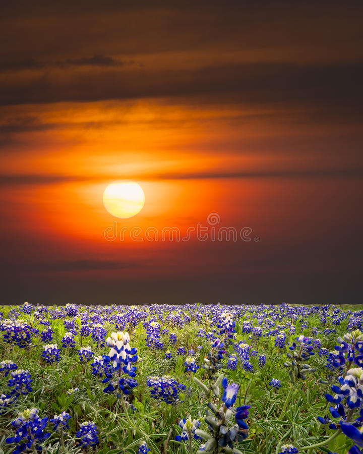 Bluebonnets im Texas-Hügel-Land lizenzfreie stockbilder