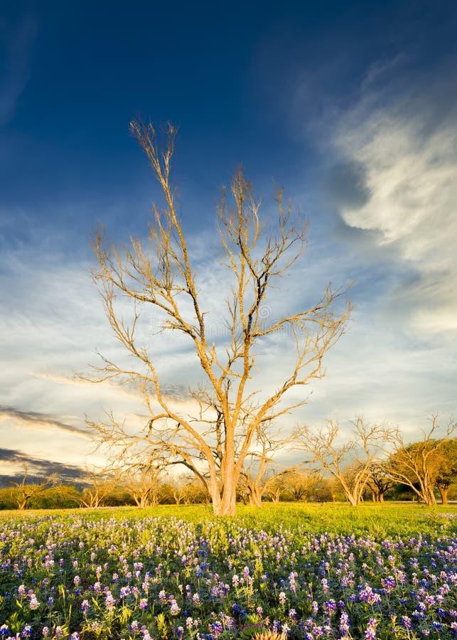 Bluebonnets im Texas-Hügel-Land lizenzfreie stockfotografie