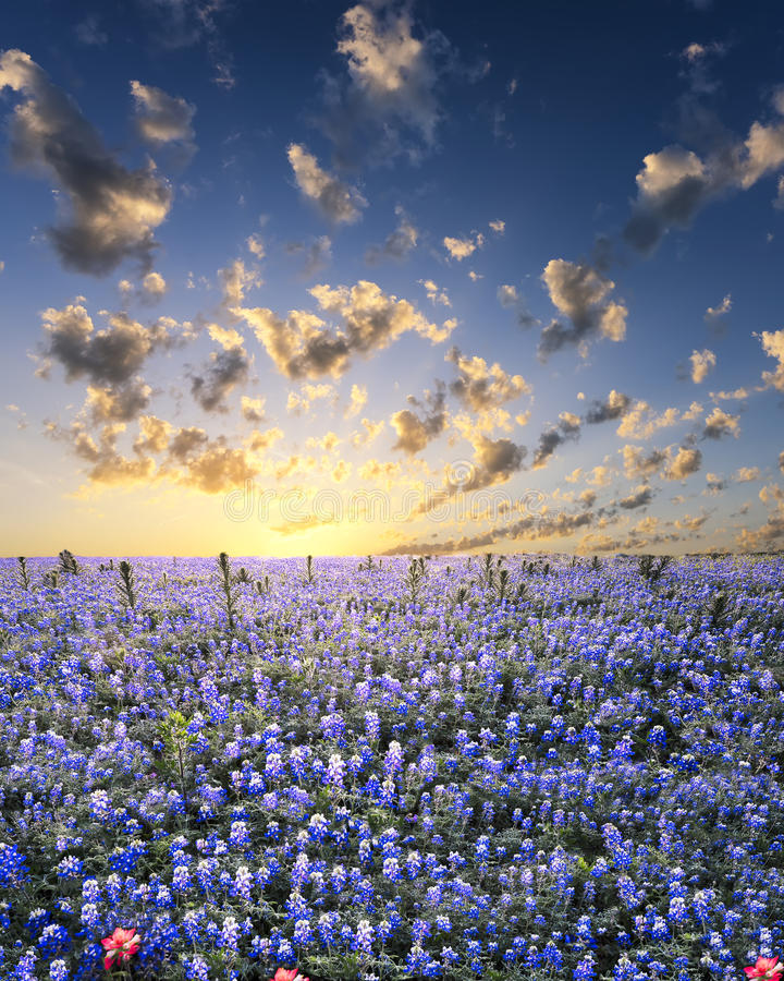 Free Bluebonnets In The Texas Hill Country Royalty Free Stock Photo - 42979495