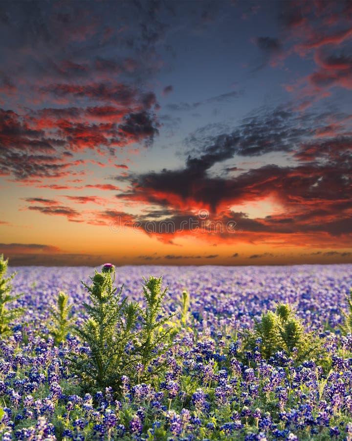 Bluebonnets nel paese della collina del Texas immagine stock