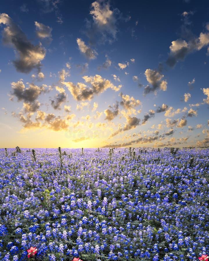 Bluebonnets nel paese della collina del Texas fotografia stock libera da diritti