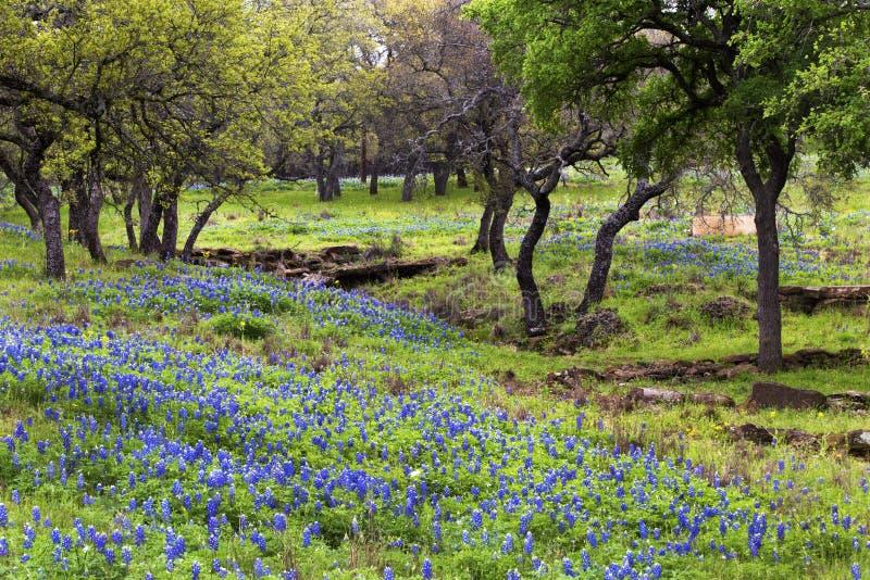 Bluebonnets på Rocky Hills av Texas Hill Country arkivfoton