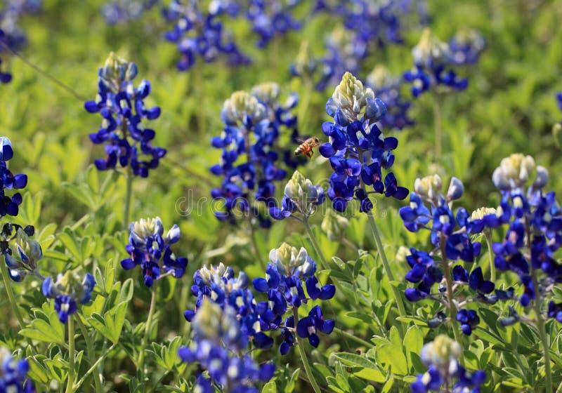 bluebonnets texas arkivfoton