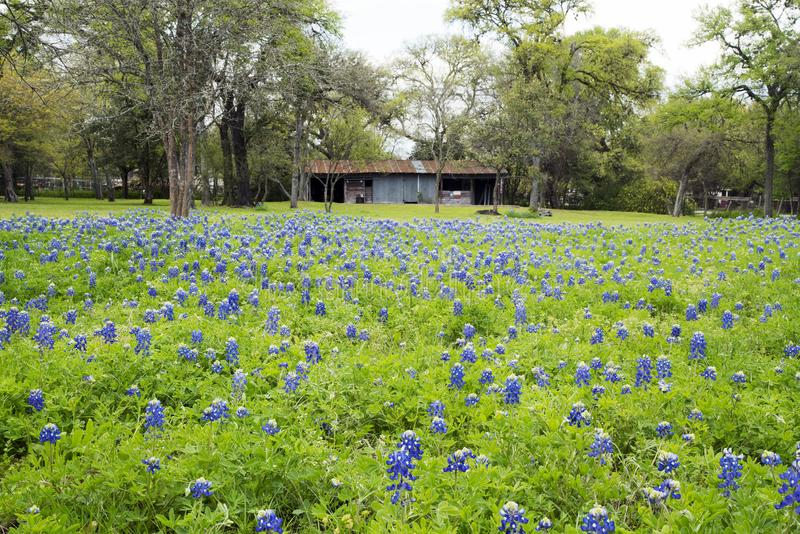 Bluebonnets in Texas Hill Country lizenzfreie stockfotos