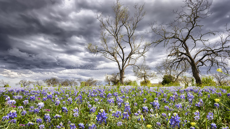 Bluebonnets in the Texas Hill Country stock image