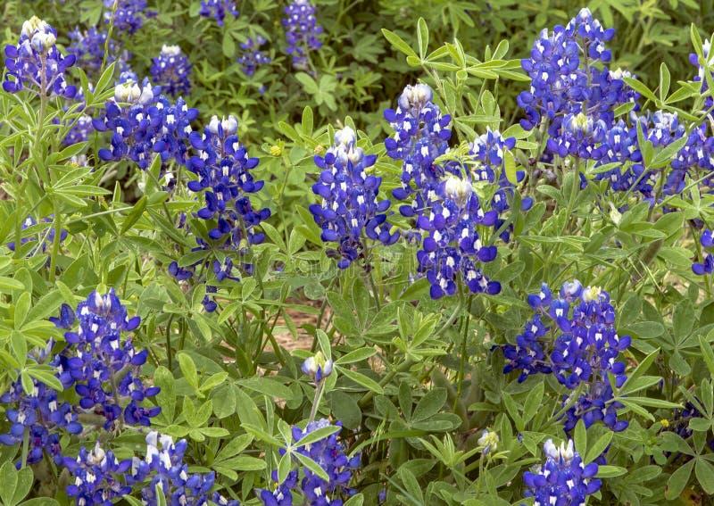 Bluebonnets w pe?nym kwiacie w Ennis, Teksas zdjęcia royalty free