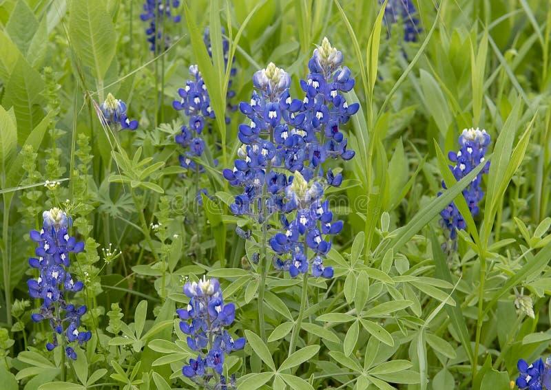 Bluebonnets w pe?nym kwiacie w Ennis, Teksas obrazy stock