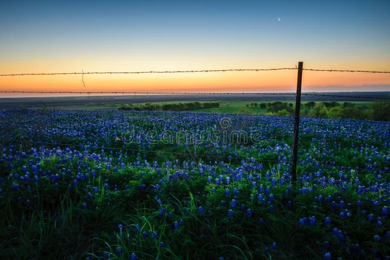 Bluebonnetsblüte mit dem Sonnenaufgang stockbild