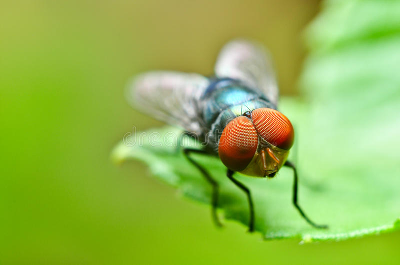 Download Bluebottle Fly stock photo. Image of green, grass, insect - 16935112
