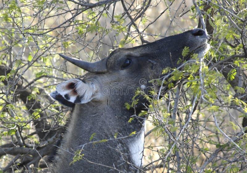 Bluebull, Ranthambore Nationalpark stock images