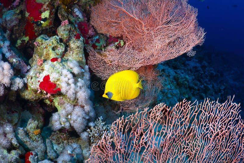 Bluecheek butterflyfish royaltyfri fotografi