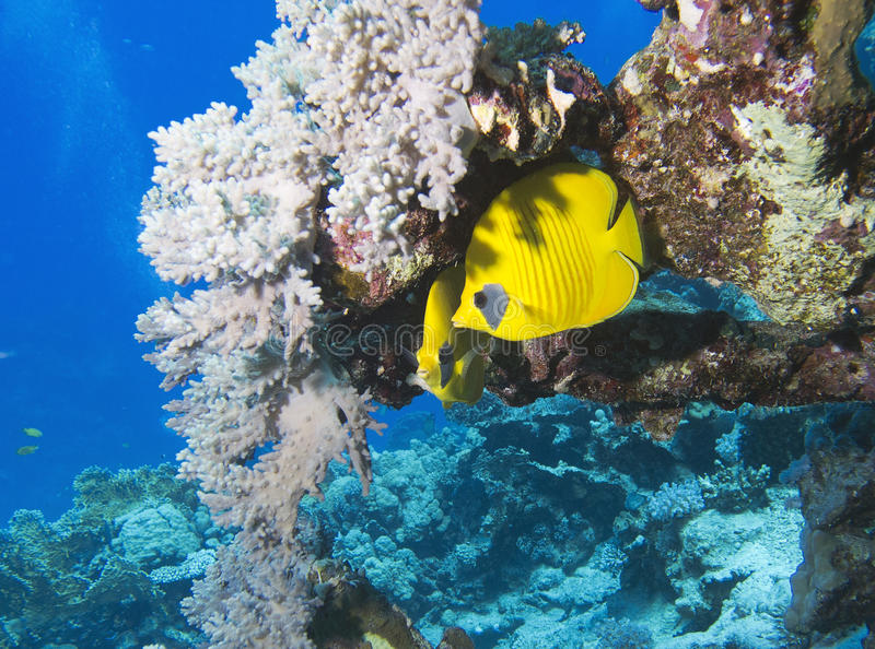 Bluecheek butterflyfish lizenzfreie stockfotografie