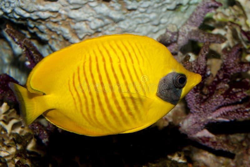 Bluecheek Butterflyfish (den Chaetodon semilarvatusen) arkivfoton