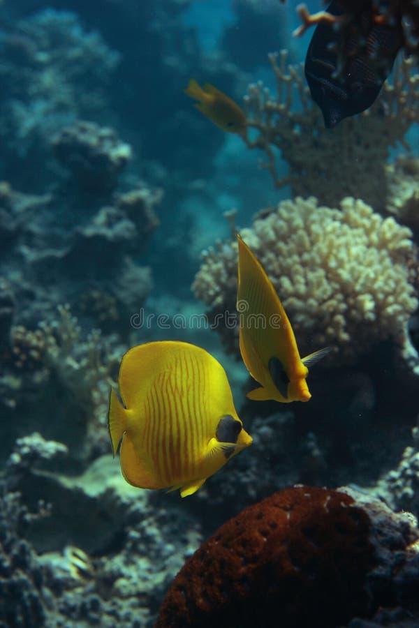 Download Bluecheek butterlfyfish stock photo. Image of resort, slimey - 8614552