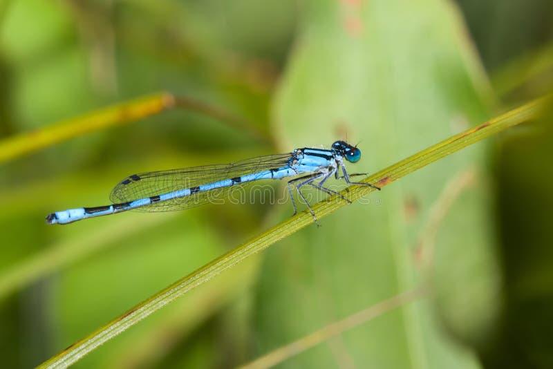 bluecommondamselfly royaltyfria bilder