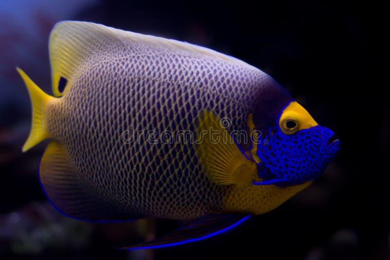 Blueface Angelfish stock photos