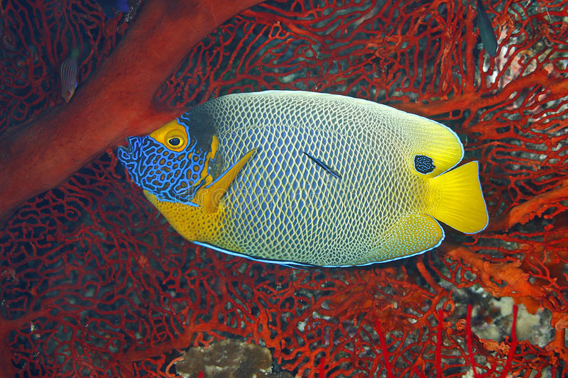 Blueface Angelfish, Pomacanthus xanthometopon fotografia stock