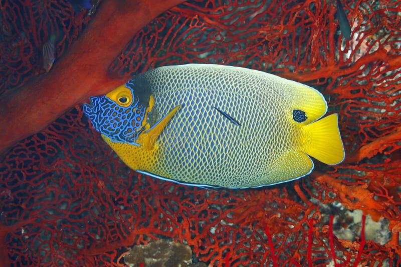 Blueface havsängel, Pomacanthusxanthometopon arkivbild