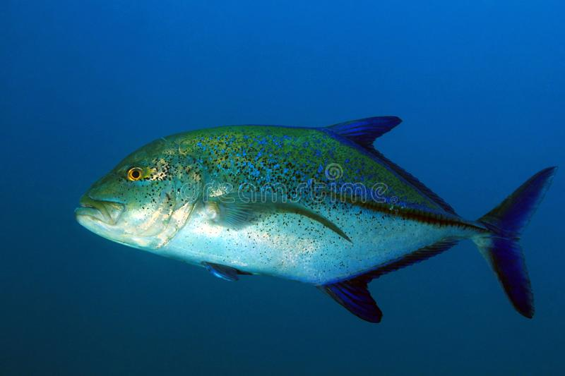 Bluefin Trevally in Blauw Water stock foto