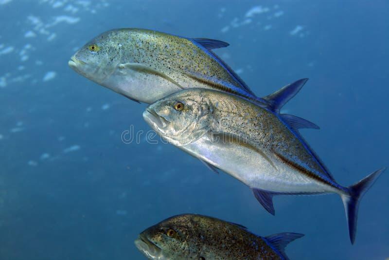 Bluefin trevally (melampygus do caranx) no Mar Vermelho. imagem de stock royalty free