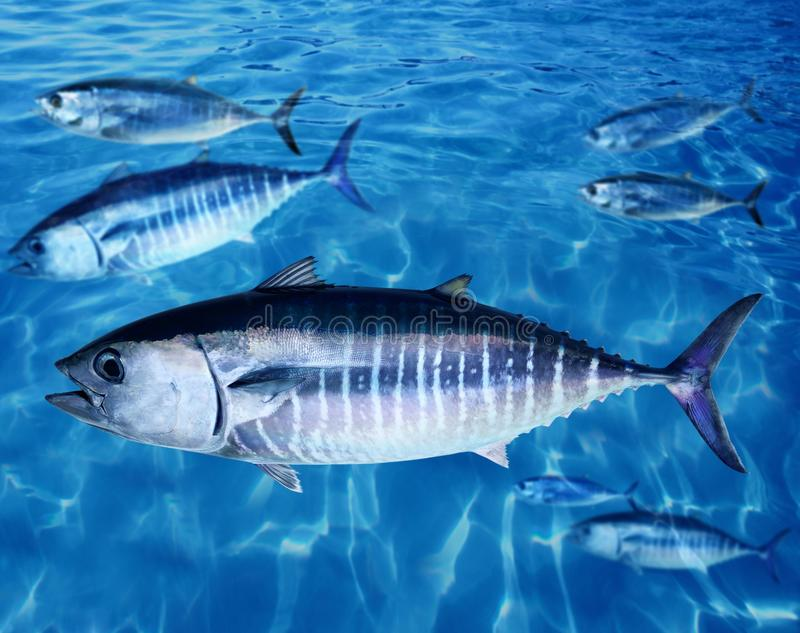 Bluefin tuna fish school underwater royalty free stock images