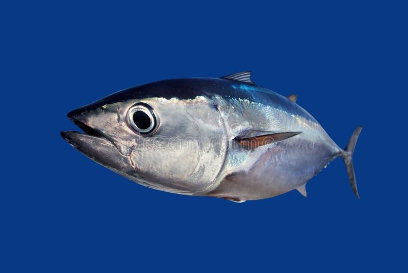 Bluefinthunfisch Thunnus thynnus Fische getrennt auf Blau lizenzfreie stockfotografie