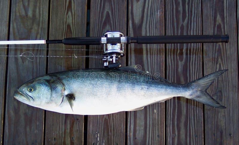 bluefish ράβδος βαρκών στοκ εικόνες