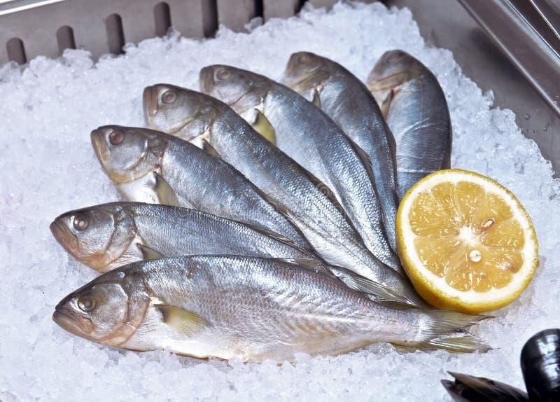 Bluefish στον πάγο στοκ εικόνα