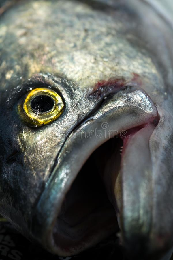 Bluefish. Local caught great saltwater fishing on east coast stock image