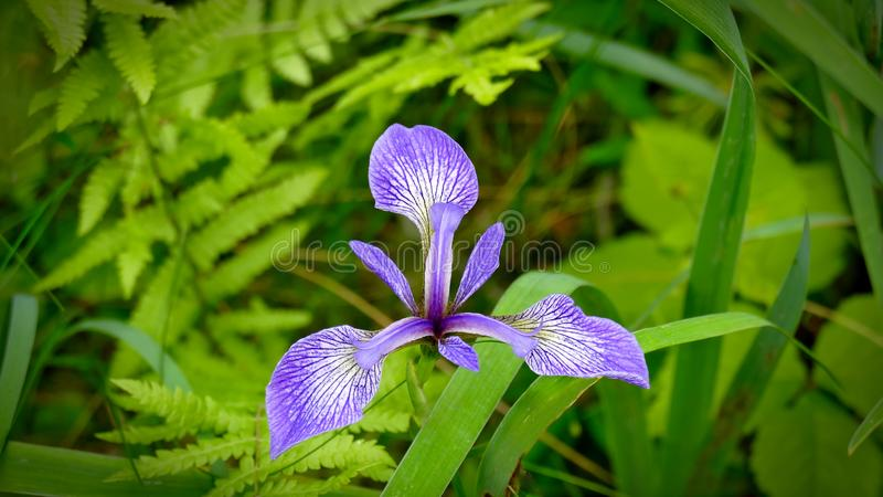 Blueflag de Halrequin - íris dos indeae de Indaceae versicolor fotos de stock